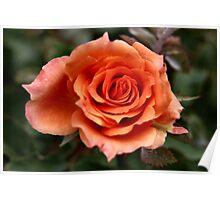 Rose 10 Poster