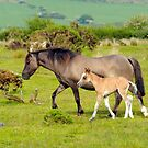 MOTHER & FOAL WALES UK by kfbphoto