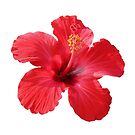 Hibiscus - Red by Sandy1949