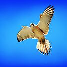 Nankeen Kestrel by Frank  McDonald