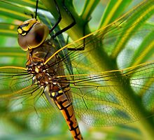 Resting Dragonfly by BecsPerspective