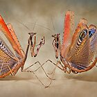 insectile pugilism by blepharopsis