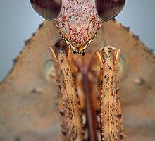 Dead-Leaf Mantis II by blepharopsis