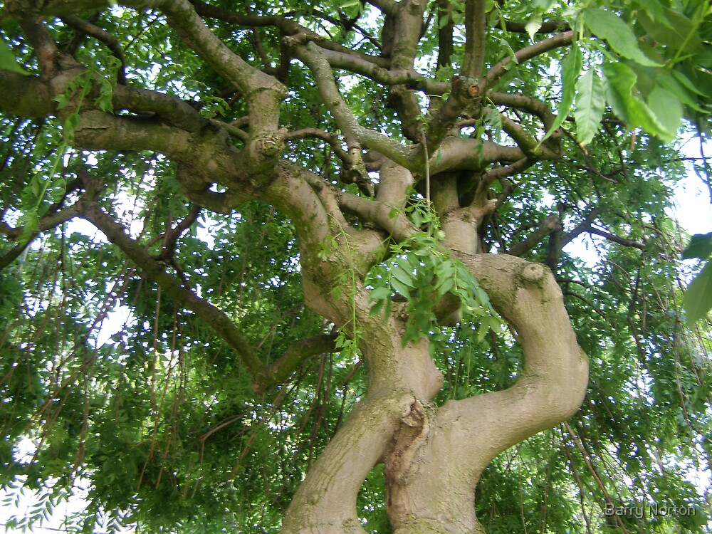 Inside the canopy of the Willow Tree by Barry Norton