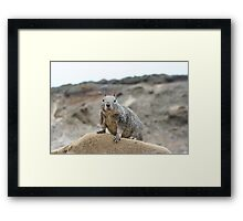 California ground squirrel Framed Print