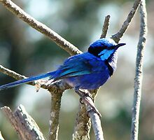Blue Wren by Coralie Plozza