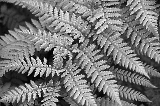 Silver Fern by coffeebean