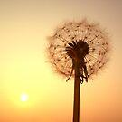 Evening Dandilion by Chris Wood