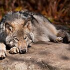 Timber Wolf At Rest by Michael Cummings