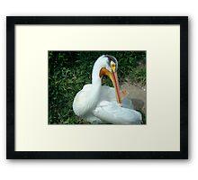 Pelican closeup Framed Print