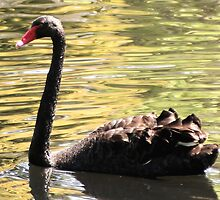 Black Swan by wildrider58