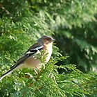 A Male Chaffinch perched in a green conifer tree enjoying some Sunshine by johnny2sheds