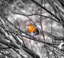 Robin by barnsleysteve