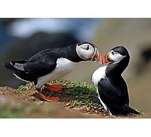 Puffin Courtship Photographic Print