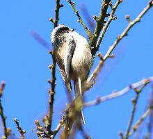 Long Tailed Tit by jdmphotography