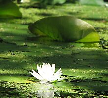 Lilly In The Channels by Stephanie86