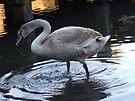 Young Swan 3 by Matt Roberts