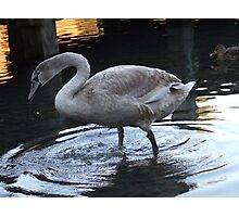 Young Swan 3 Photographic Print