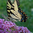Swallowtail butterfly insect macro nature  by edlogsdon