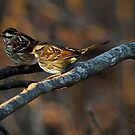 """White-Throated Sparrows"" by Melinda Stewart Page"