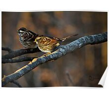 """""""White-Throated Sparrows"""" Poster"""