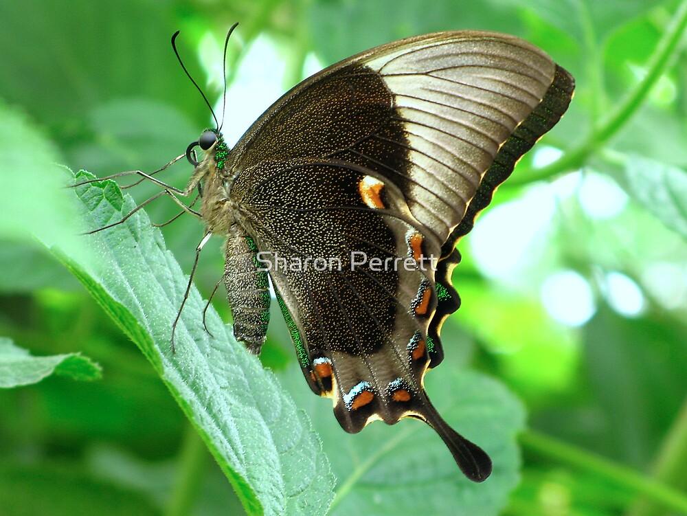 Emerald Swallowtail - Closed Wings by Sharon Perrett