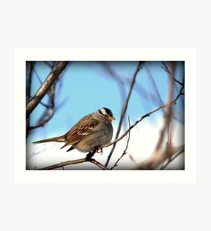 White Crowned Sparrow - Winter Blue Skies Art Print