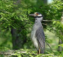 Yellow Crowned Night Heron Mother by Bonnie T.  Barry