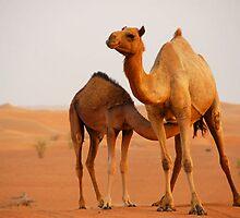 Camel in Dubai desert, UAE by Shannon Benson