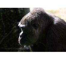 Western Lowland Gorilla Photographic Print