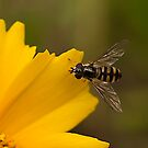 The Hover Fly by Ben Shaw