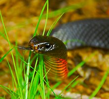 Red-bellied Black Snake [Pseudechis porphyriacus] by Shannon Benson