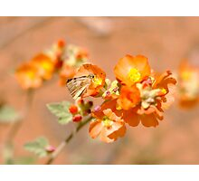 Tiny Butterfly on Scarlet Globemallow Photographic Print