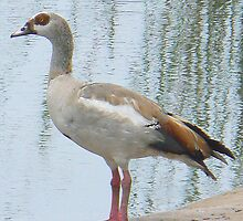 Egyptian Goose by AARDVARK