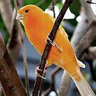 Yellow Bird by Rock Mollica