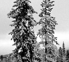Frozen trees by Mandy Fell