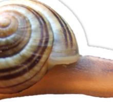 Snail T Sticker