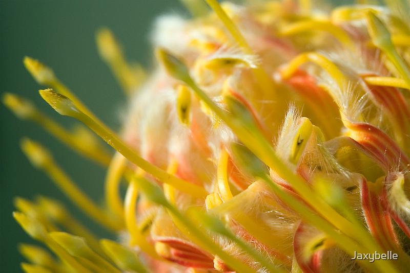 Proteaceae Leucospermum aka Pincushion 1 by Jaxybelle