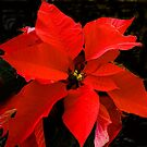 Euphorbia pultherrima - Poinsettia by David DeWitt