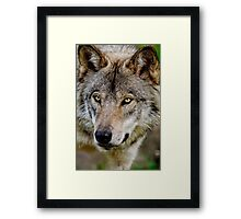 Timberwolf Portrait  Framed Print