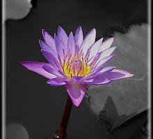 Indian Lily  by Andrew Wilson
