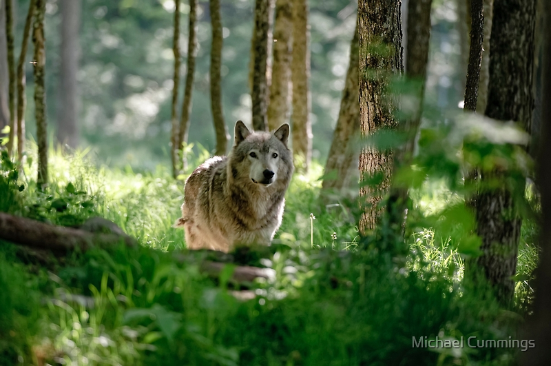 Timberwolf in Forest by Michael Cummings