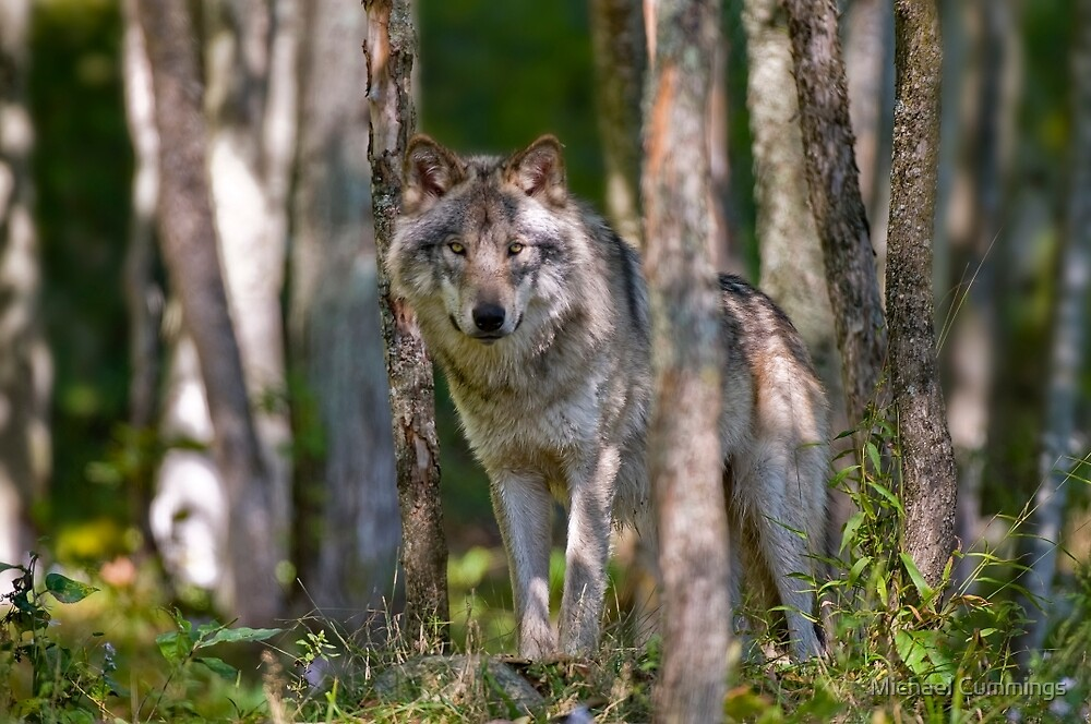 Timber wolf in Forest by Michael Cummings