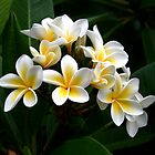 Frangipani by wendy Wood