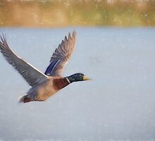 Flying Mallard (Colour Pencil Effect) by shaftinaction