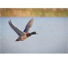 Flying Mallard (Colour Pencil Effect) Photographic Print
