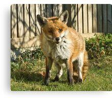 Sleepy fox in suburbia Canvas Print