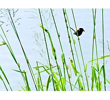 Red-backed Fairy-wren outflanked by fearless frogs Photographic Print