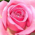 Macro Rose by Melissa Contreras