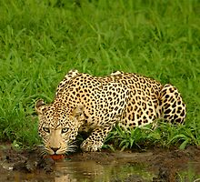 LEOPARD by Larry Glick